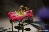 DSC00587 薔薇?