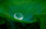 大葉の水滴
