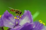 紫露草と蜂-1
