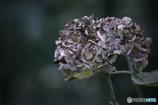 DSC01531 冬支度の紫陽花