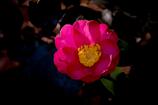 DSC01333. 師走の山茶花