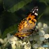 DSC05294 あなたは 蝶それとも蛾?