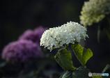 DSC05230 白い花が咲いていた