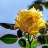 DSC07550-黄色い薔薇-3