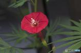DSC07780 小さな赤い花