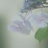 DSC06432 紫陽花は霧の中?