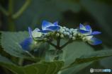 DSC04457これから育つ 額紫陽花