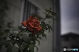 DSC09007 雨あがりの薔薇