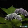 氏神様参道の紫陽花-3