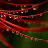 彼岸花-20 蕊を飾る水玉たち