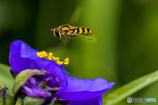 DSC04401 蜂と紫露草