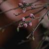 桃の花芽吹く