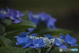 DSC06755 鮮やかな青
