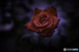 DSC09010 雨あがりの薔薇