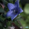 DSC07608 桔梗は秋の花