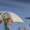 DSC05579 夏は来ぬ-白い日傘