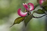 DSC04131 葉も美しいハナミズキ