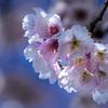DSC03604 安行桜、明るい朝陽の中