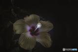 DSC09241 九月八日に咲いたハイビスカス
