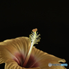 、DSC08810 ハイビスカス今朝も咲きました