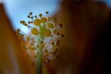 DSC02999-咲いて二日目のハイビの蕊