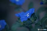 DSC07863 青い花が咲いて居ました-1