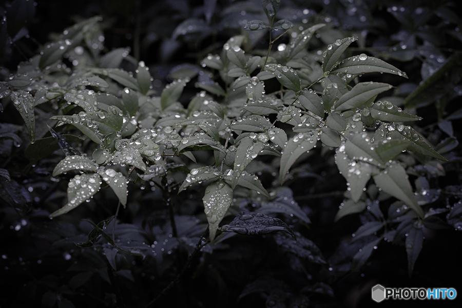 DSC08671 雨粒とナンテン