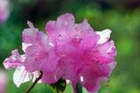 四月八日の石楠花-1