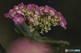 DSC06924 土手の紫陽花15番