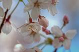 _桜はユラユラ