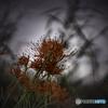 DSC02067. 真菰の葦と対話する彼岸花