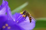 紫露草と蜂-2