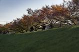 DSC00405. 朝の桜並木