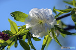 DSC00452-青空と桃の花