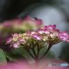 -1DSC06941 土手の紫陽花
