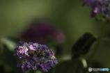 DSC07265 土手の紫陽花-8