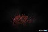 DSC00281 黎明の彼岸花