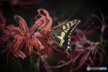 DSC02553. 花と蝶-1