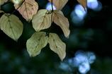 DSC01495  公園で見つけた秋色の葉