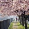 DSC08916 桜の散歩道