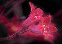 SONY ILCA-77M2で撮影した(DSC05214 ヒューケラ(別名ツボサンゴ))の写真(画像)