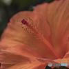 DSC07839 花の命は一日だけ