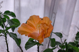 DSC01698. 咲いて三日目のハイビスカス jpg