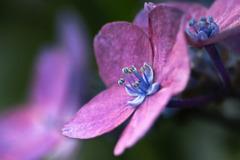 DSC01626 紫陽花の内緒話、晴れたらいいね