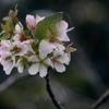 健気に咲く10月の桜.