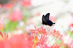 彼岸花と黒アゲハ蝶