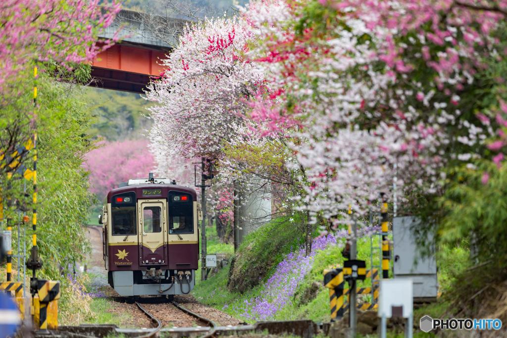 2018.4.11花のわたらせ渓谷鐡道②