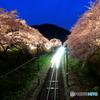 桜と光の競演