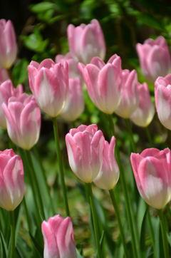 花の宝石箱~初桜~