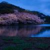三渓園の夜桜2